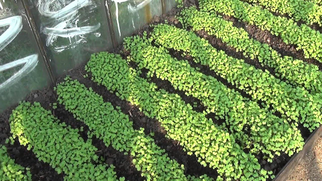 Сидераты как удобрения - когда сеять, какие лучше выбрать 62