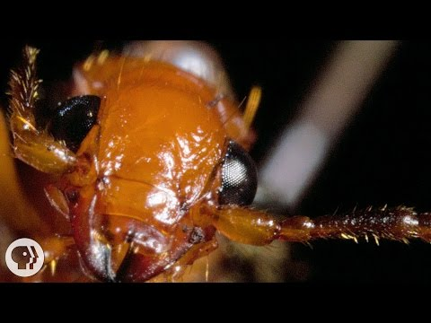 The Bombardier Beetle And Its Crazy Chemical Cannon   Deep Look