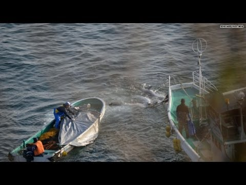 More dolphins slaughtered in 'The Cove'