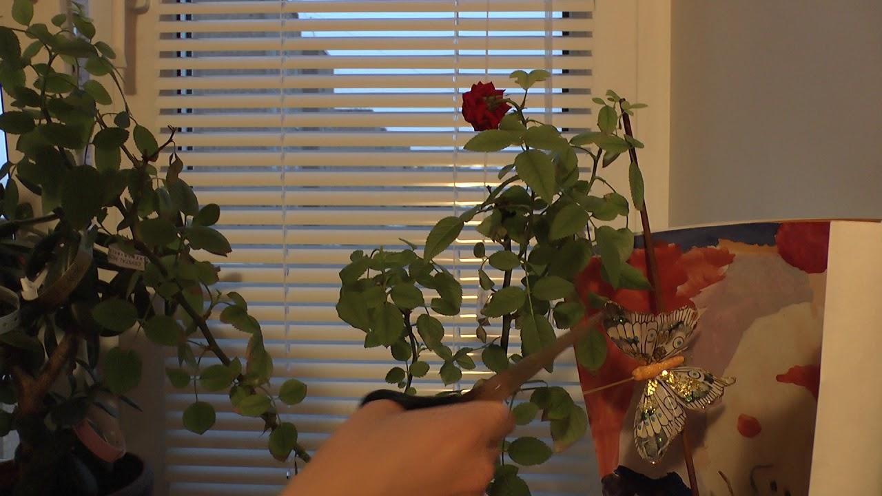 Почему сохнет домашняя роза зимой 5