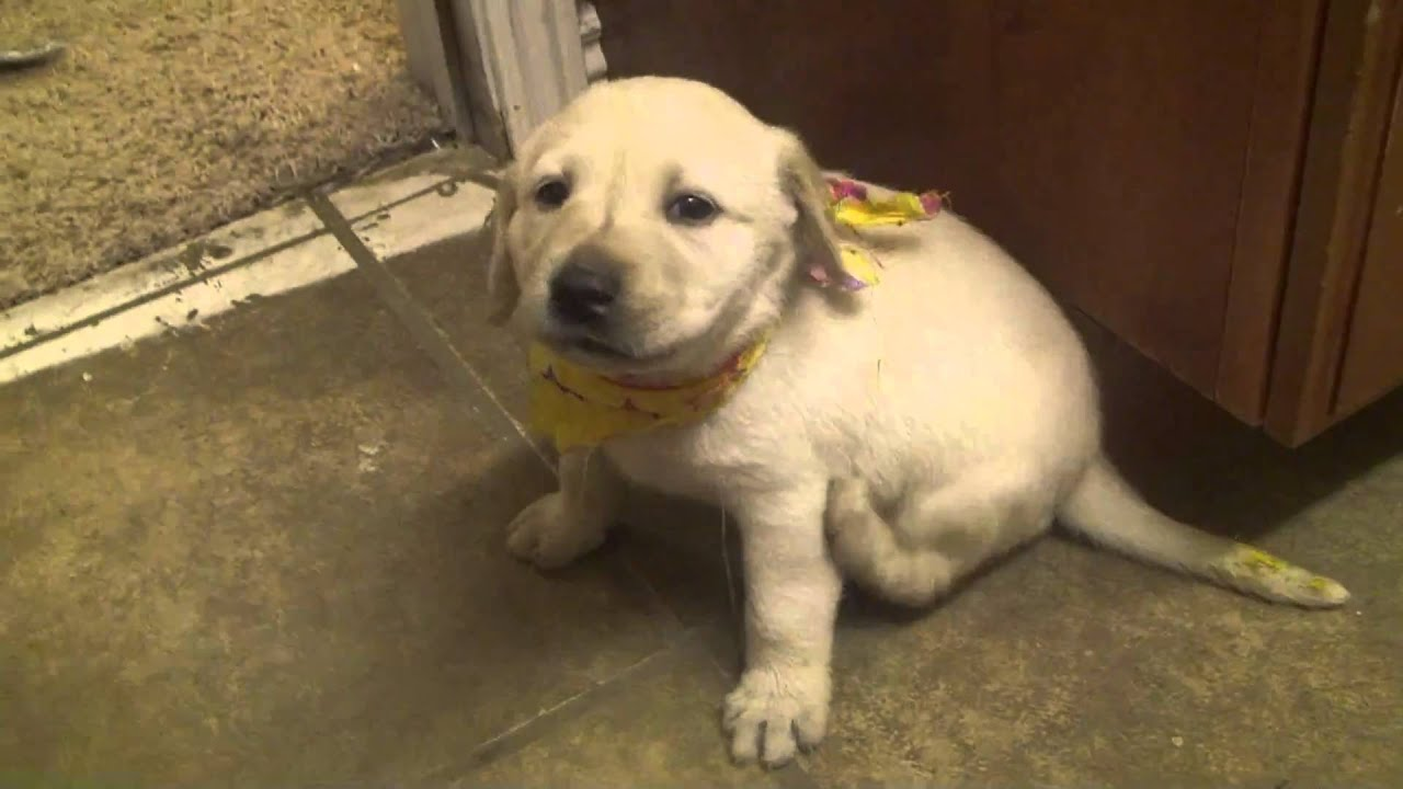 how to train your labrador puppy video