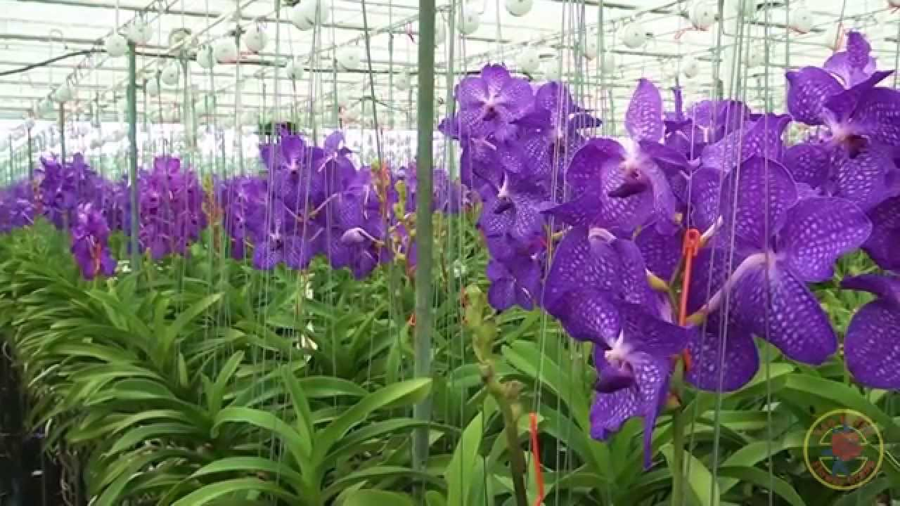 van vliet flower group at anco pure vanda grower youtube. Black Bedroom Furniture Sets. Home Design Ideas