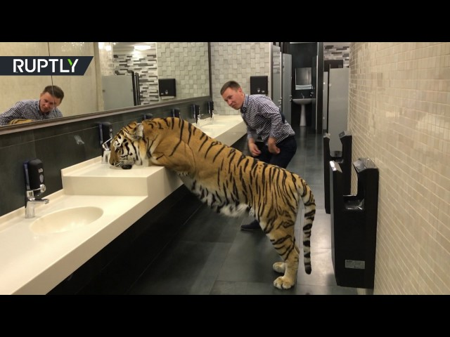 Nothing to see here – just a tigress drinking from a sink in the men's room
