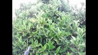 Tratamiento para árboles frutales, cura.