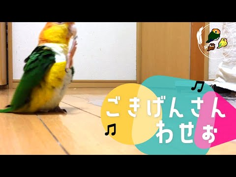 Cute Caique Parrot Bird Silly Walk