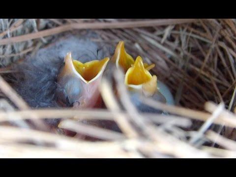 Baby Bluebirds!