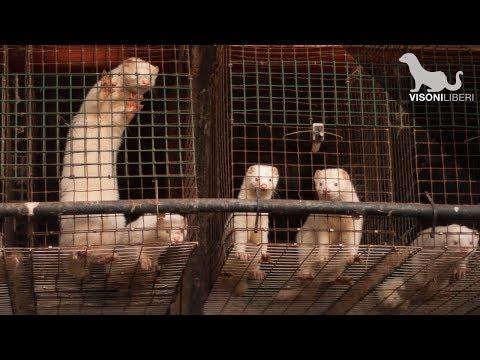 Morire per una pelliccia – Gli allevamenti di visoni in Italia