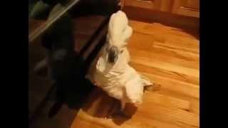 Приколы!Грязные танцы попугаев!(Fun! Dirty Dancing parrot!)