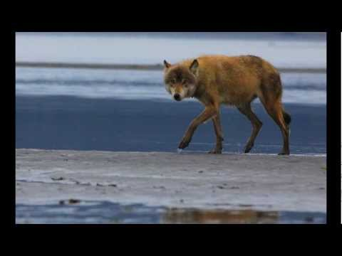 Salmon Fishing Wolves of Alaska, Very Rare Footage!  wolf vs grizzly bear