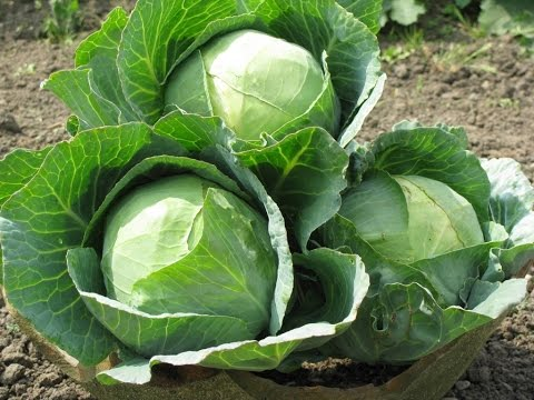 58.Как вырастить огромную капусту.