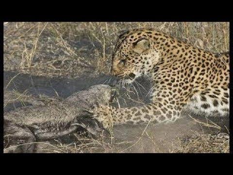 Honey badger attacks lion