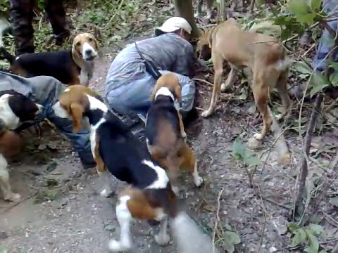 cazando armadillo con beagle.mp4