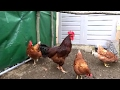 Mr Rooster is in trouble with the hens