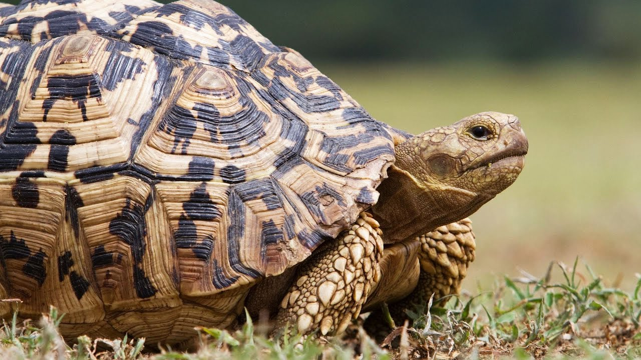 what s a leopard tortoise pet turtles   youtube