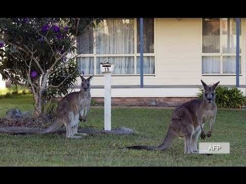 College student dies after swerving to miss dead kangaroo