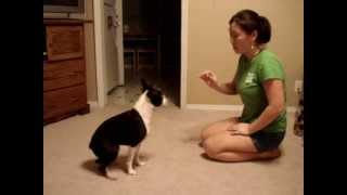 Boston Terrier Tricks