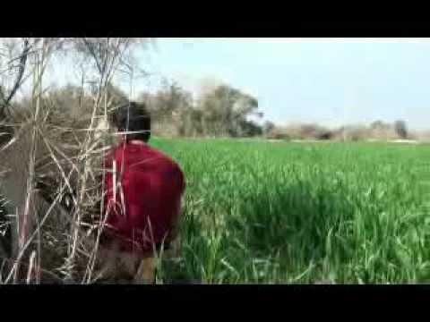 Pig Hunting video in Pakistan, soor ka shikar, wild boar hunting with dogs, haveli fight,