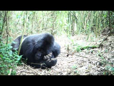 Kimberly Snyder Travel Adventures - Rwanda and Chaz the Gorilla