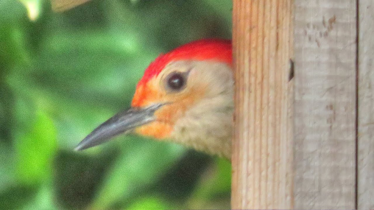 Red Bellied Woodpecker Babies Red Bellied Woodpecker Babies