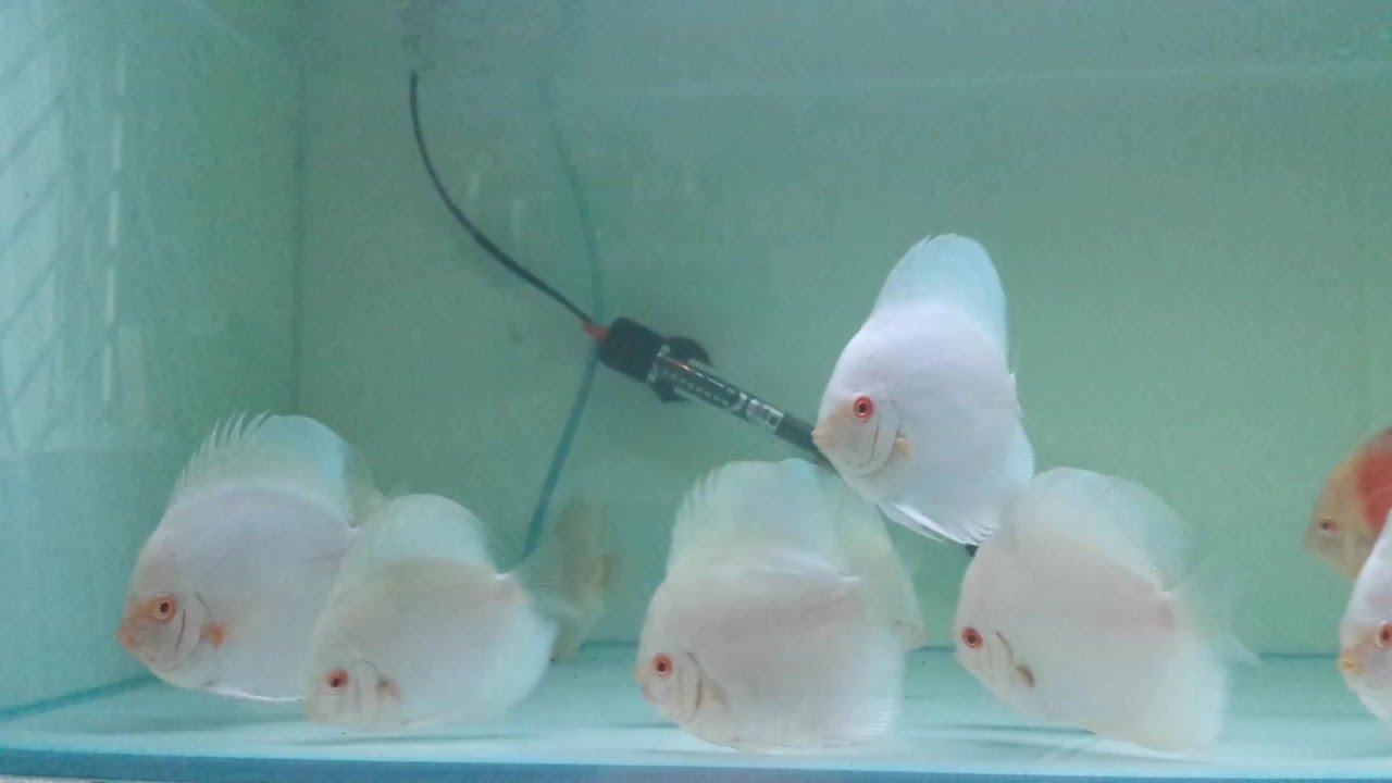Half Moon Blue Diamond Discus Albino Blue Diamond Discus