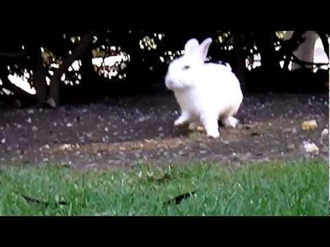 CUTE BUNNY RABBIT - Cute fluffy white bunny rabbit hops it! Hop little bunny, hop hop hop! バニー