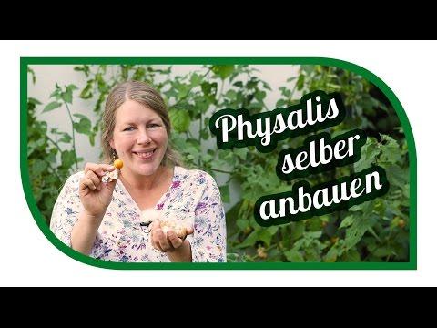 Physalis (Andenbeeren, Kapstachelbeeren) im Garten erfolgreich anbauen und früher ernten