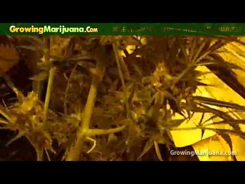 Growing Weed - Blue Dream Soil Medical Marijuana Strain Harvest