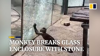 Monkey breaks glass enclosure with stone at zoo in China