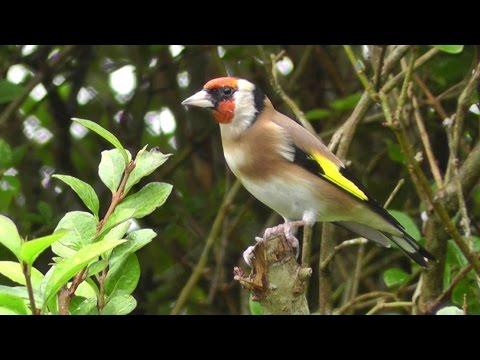 Goldfinch on Display - European Goldfinch Bird - Chardonneret élégant