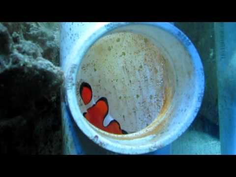 Clownfish eggs hatching