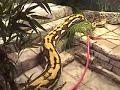 Strike, longest snake, guinness world records 2011