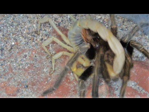 Tarantula And Desert Hairy Scorpion Challenge Each Other (Warning:May be disturbing to some viewers)