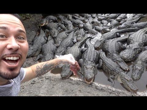 FEEDING 1000 MAN EATING ALLIGATORS