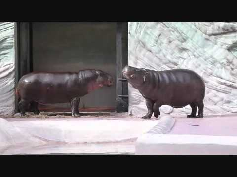 上野動物園コビトカバ_夫妻のお試し同居