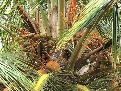Coconut Development Project- Tumkur- Kannada