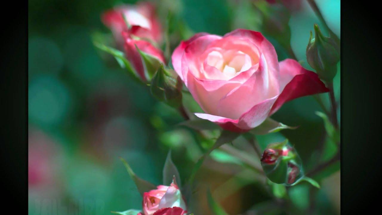 Фото живые цветы очень красивые розы