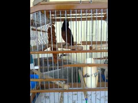Trini Bull Finch video