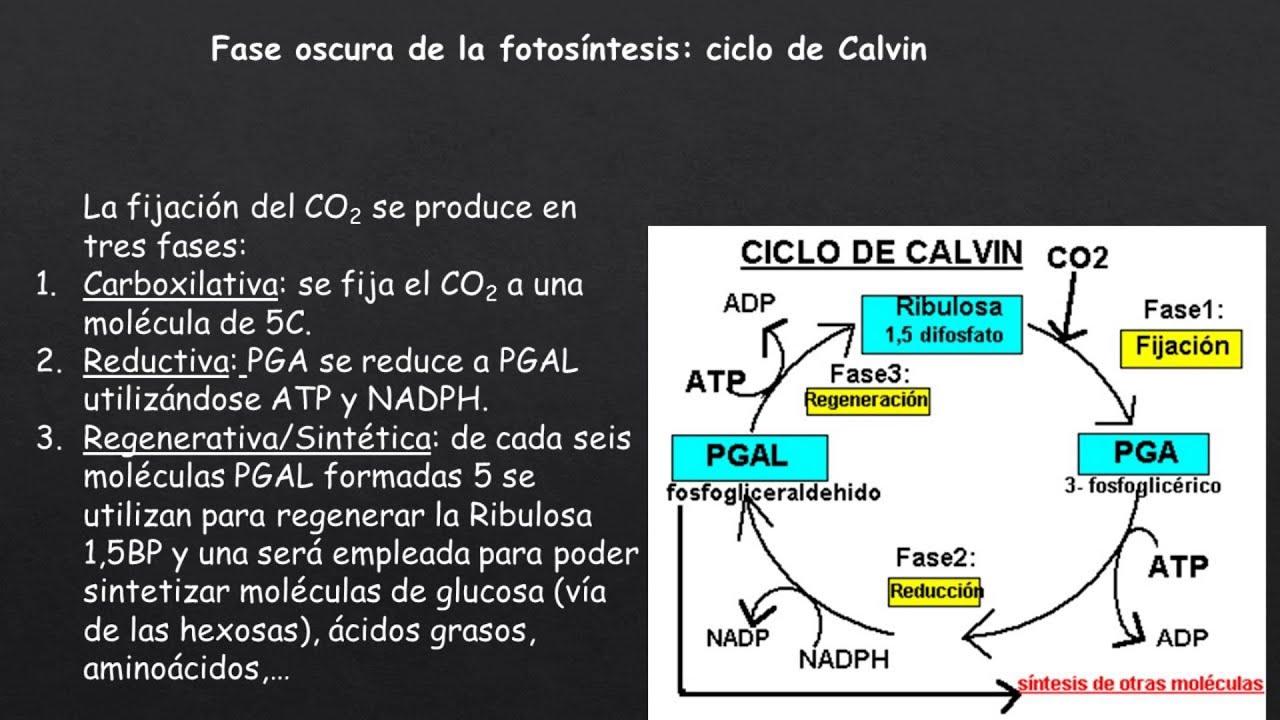 Fotosintesis y sus etapas 92