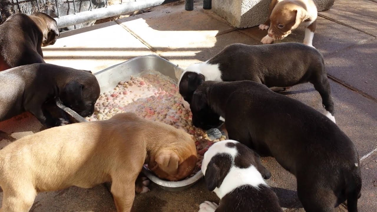 What Dog Food Is Good For A Pitbull