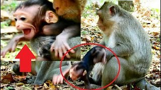 OMG ! pity baby Chikis cried extremely loudly cos female monkey do very bad-Connie seem don't care.