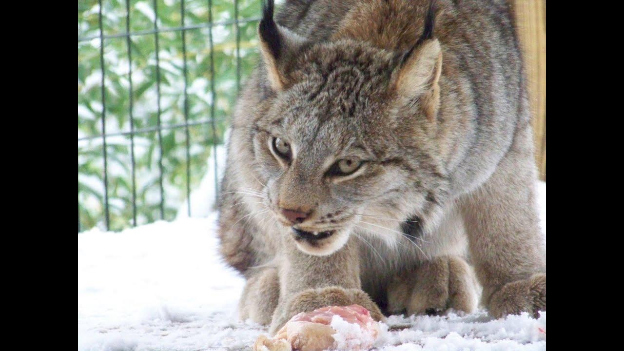 feeding our canadian lynx mazuri feline large meat pellets