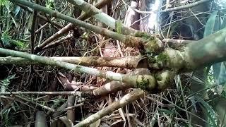 Bambu petuk terbesar.bambu pethuk.mustika bambu pethuk