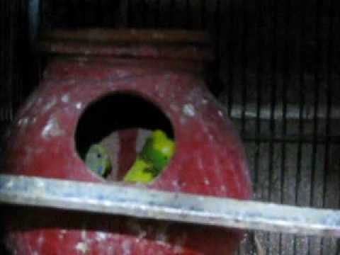 Syed Shujaat Ali Birds Farm Part 3 Steel Town Gulshan-E-Hadeed Karachi