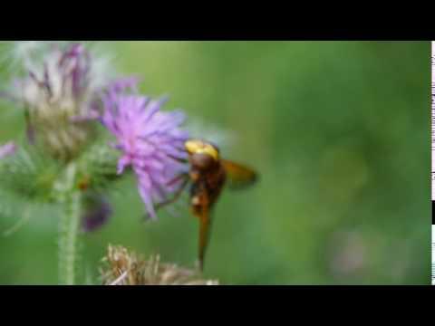 Hornet - Testing my Panasonic Macro lens