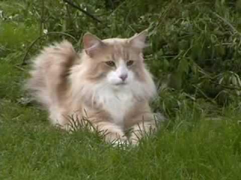 Norwegische Waldkatze Größe Norwegische Waldkatze Beim