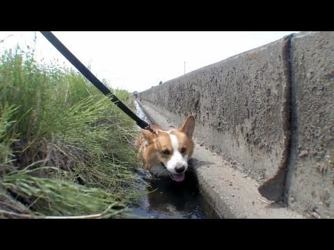 (HD) Sunflowers / 暑いよ~ 20100817 Goro@Welsh corgi