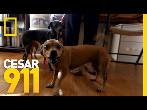 Why Little Dogs Are So Yappy? | Cesar 911