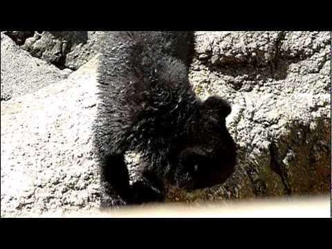 上野動物園のニホンツキノワグマの赤ちゃん。Baby Japanese black bear.#03
