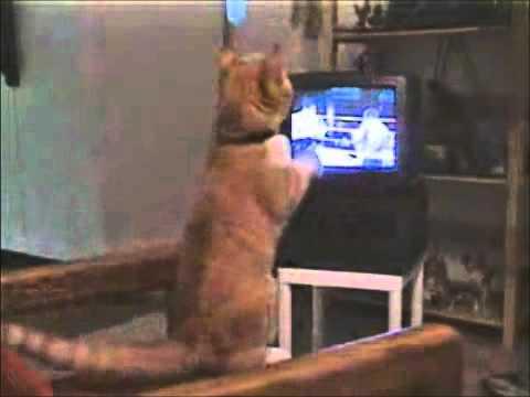 Boks Yapan Kedi, Kedilerinize Izletmeyin :)