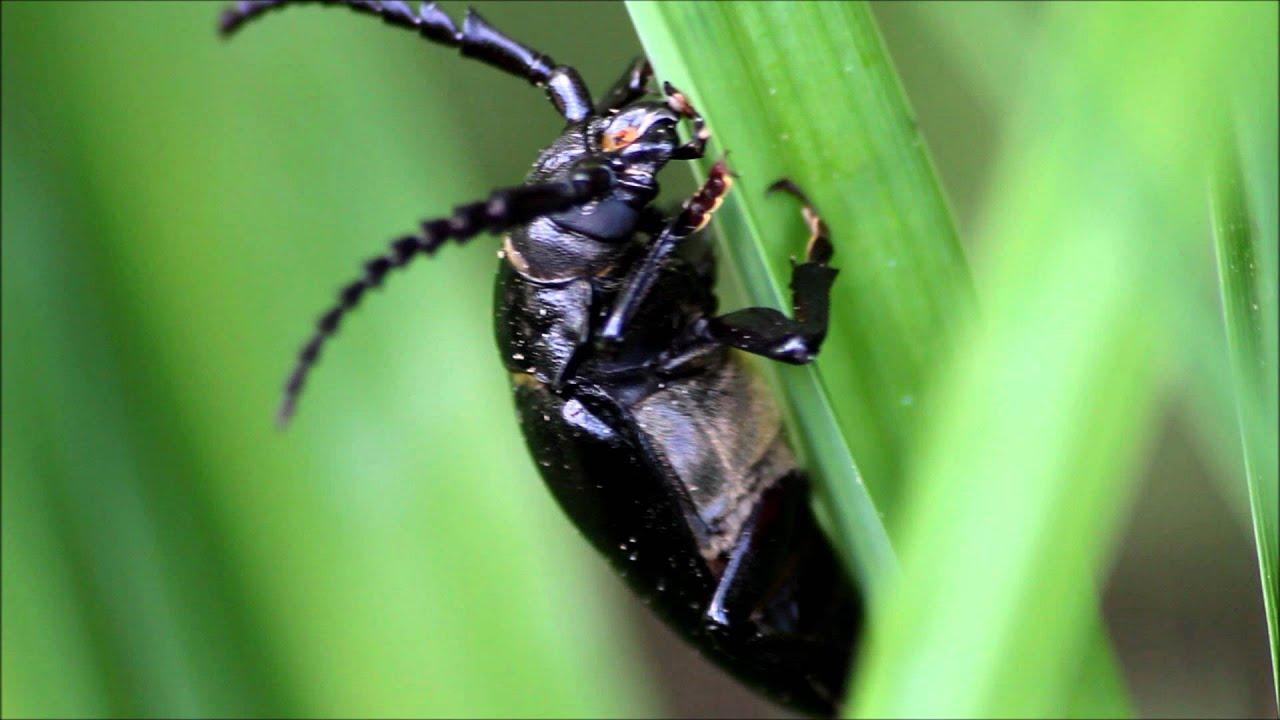 play black beetles on youtube